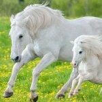 Pferde sind von der Zivilisationserkrankung...