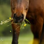 Hafer ist das ideale Getreide für die...