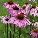 Natusat Echinacea purpurea Presssaft 1 L
